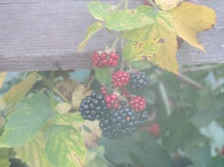 Blackberries early on a muggy August morning.  Near Mattoon, IL August, 2011.