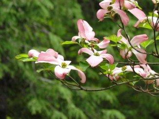 Light Pink Dogwoods. Mt Holyeoke, MA.  May, 2011.