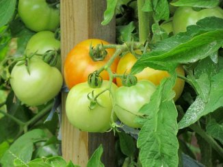 Ripening tomatoes. Near Mattoon, IL August 2011.