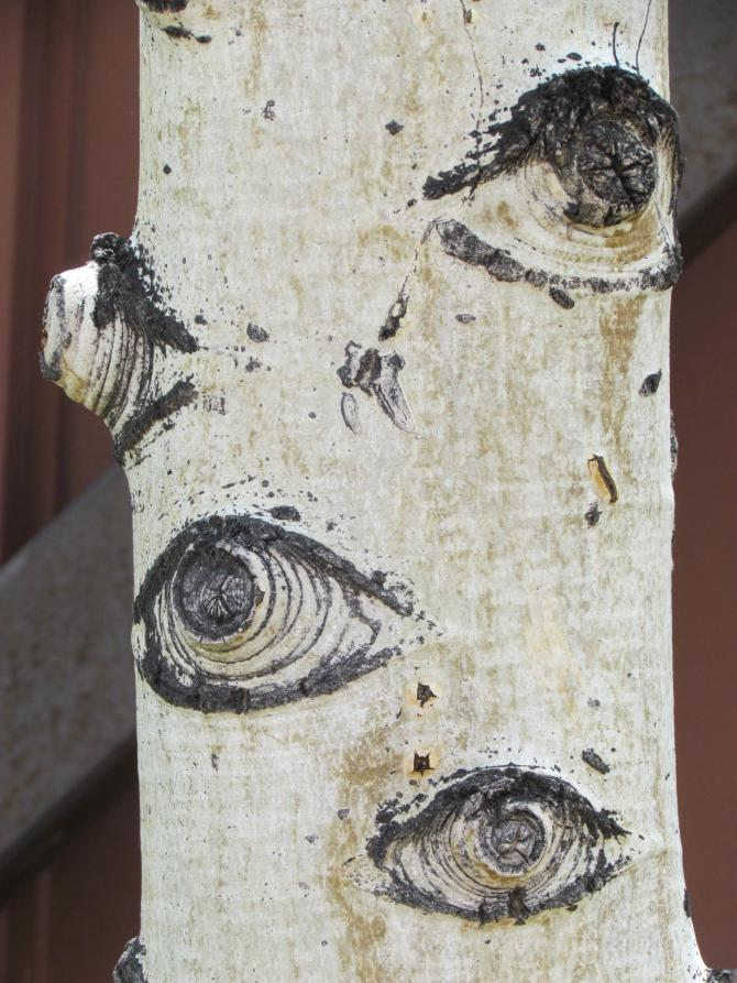 The Eyes of the Forest: trunk of a scarred Aspen near Crested Butte, CO  August, 2010