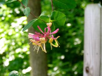 Honeysuckle. Near Mattoon, IL  May, 2011.