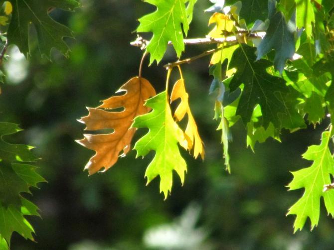 Oak leaves.  Yosemite, California  October, 2012