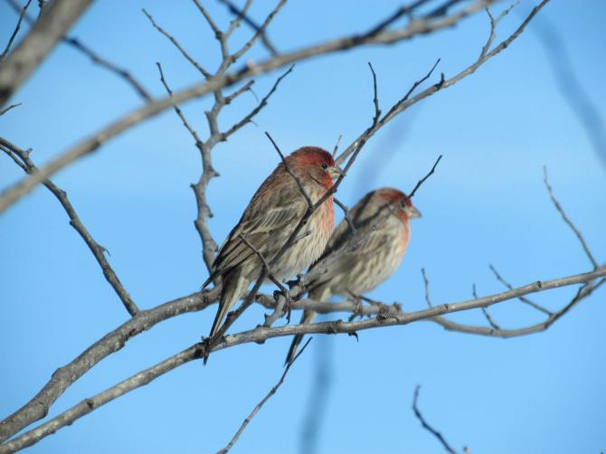 Purple chested finches in the winter. Near Mattoon, IL. February 2013.