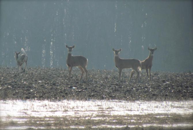 Deer in Winter.  Near Mattoon, IL February, 2013.