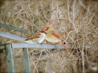 Spatzie (sparrow) and female cardinal. Near Mattoon, IL, February 2013