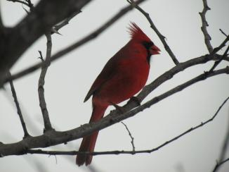 Cardinal.  Near Mattoon, IL February, 2013.