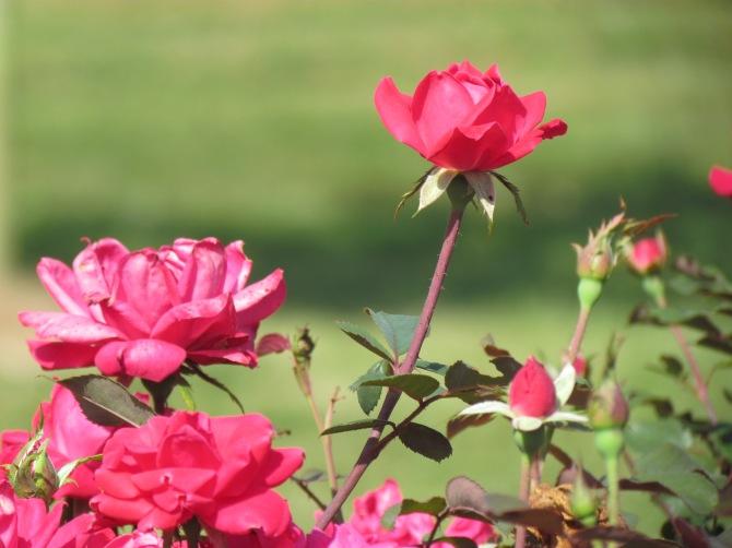 Roses.  Near Mattoon, IL August, 2013.