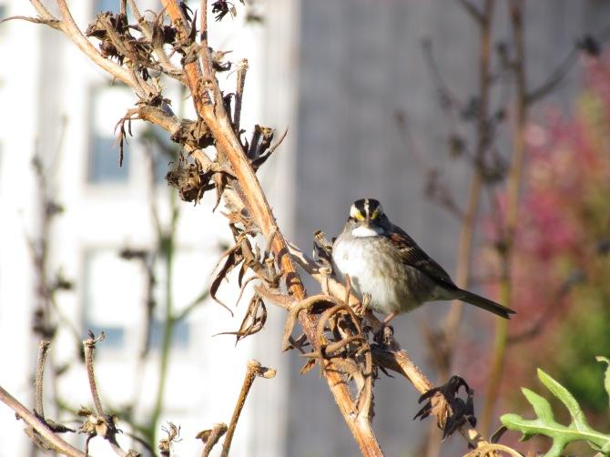 Urban flight. Sparrow in Millennium Park, Chicago, IL. October 18, 2013.